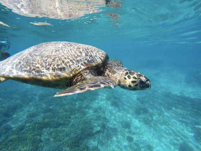 Seat turtle indonesia
