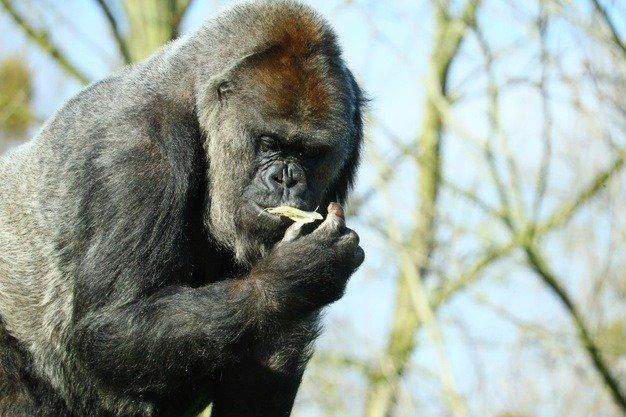 close-up of a black gorilla