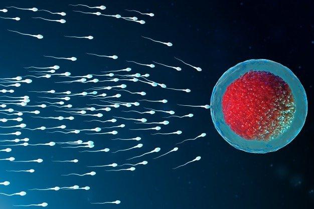 sperm ovum