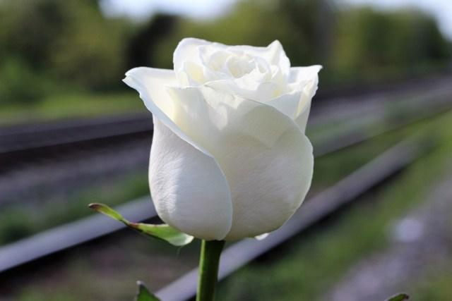 white rose suicide