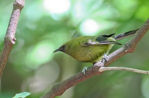 New Zealand Bellbird - photo by Li-Li Williams