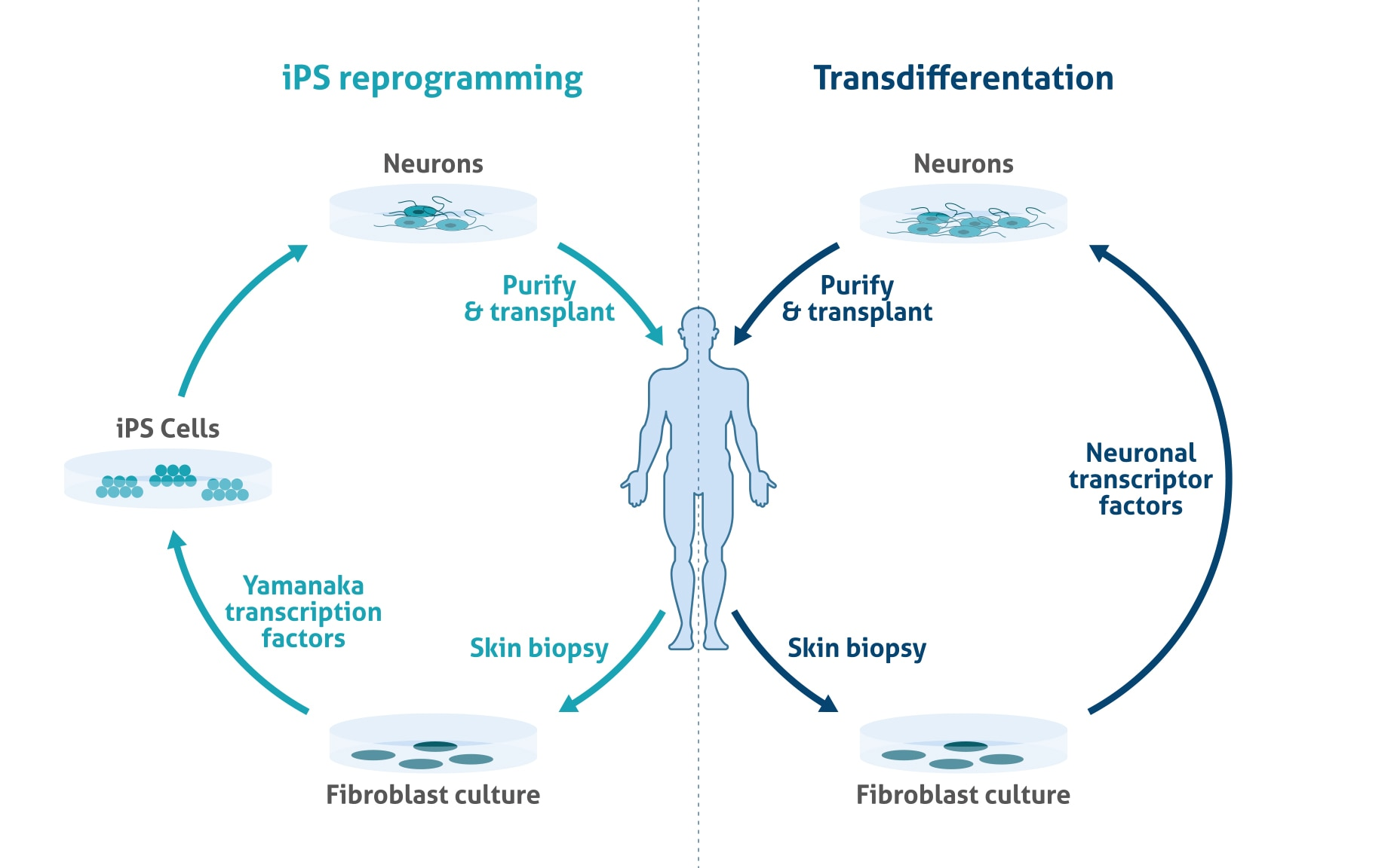 Induced pluripotent stem cells (iPSCs) and modeling ...
