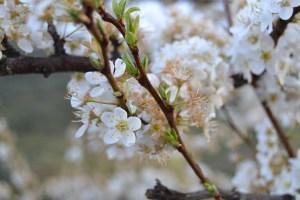 Amendoeiras em Flor são atração turística na região/ Foto: Salomé Ferreira