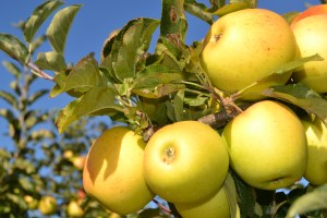 Armamar e Moimenta da Beira com quebra de 40% na produção de maçã / Foto: Salomé Ferreira