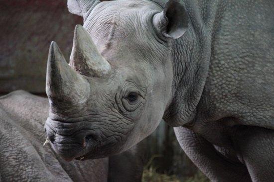 Bildresultat för noshörning