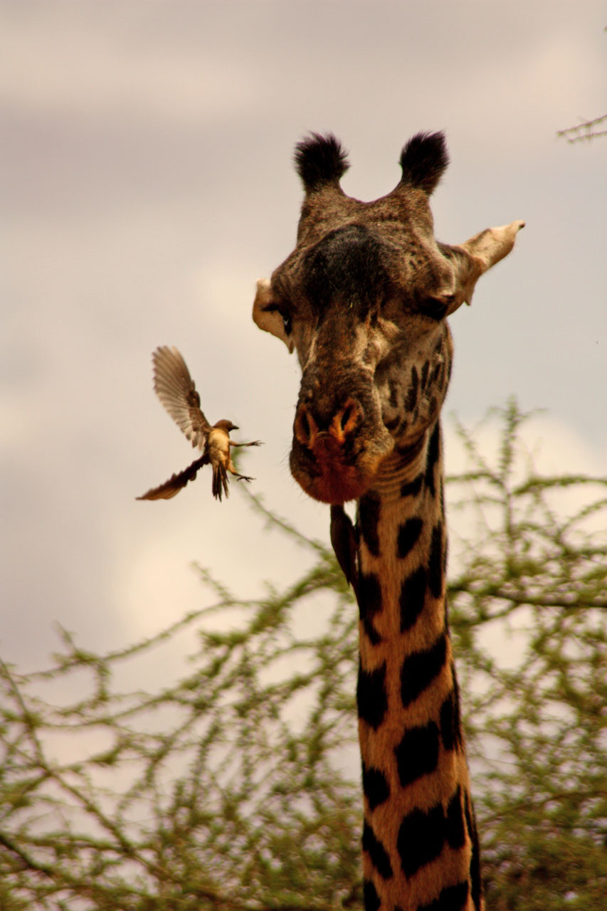 giraffe, bird, animals explore