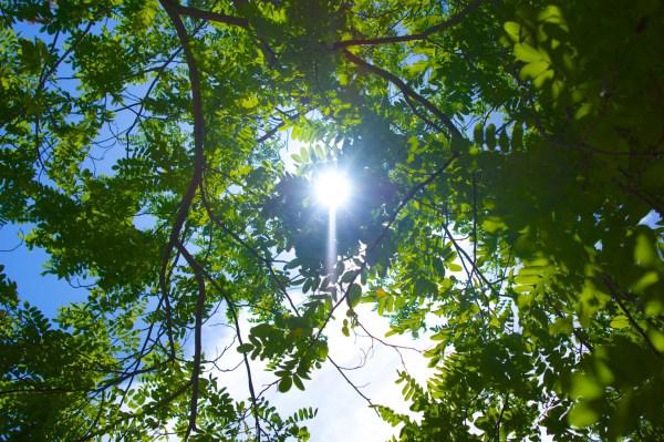 Sun Through Tree Leaves Free Stock Photo - Public Domain ...