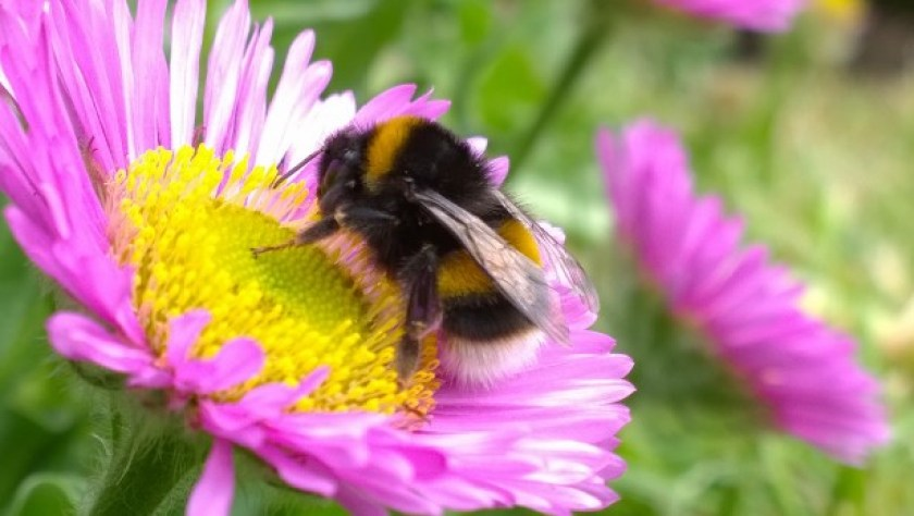 Bumble Bee On Flower Free Stock Photo - Public Domain Pictures
