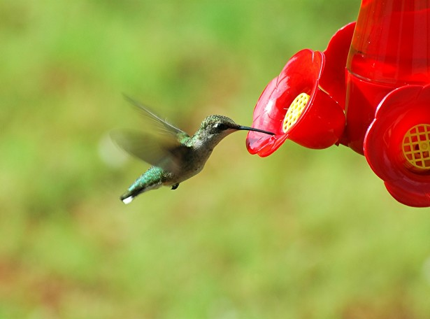 National Hummingbird Day, Humming Bird, Hummingbird Poetry