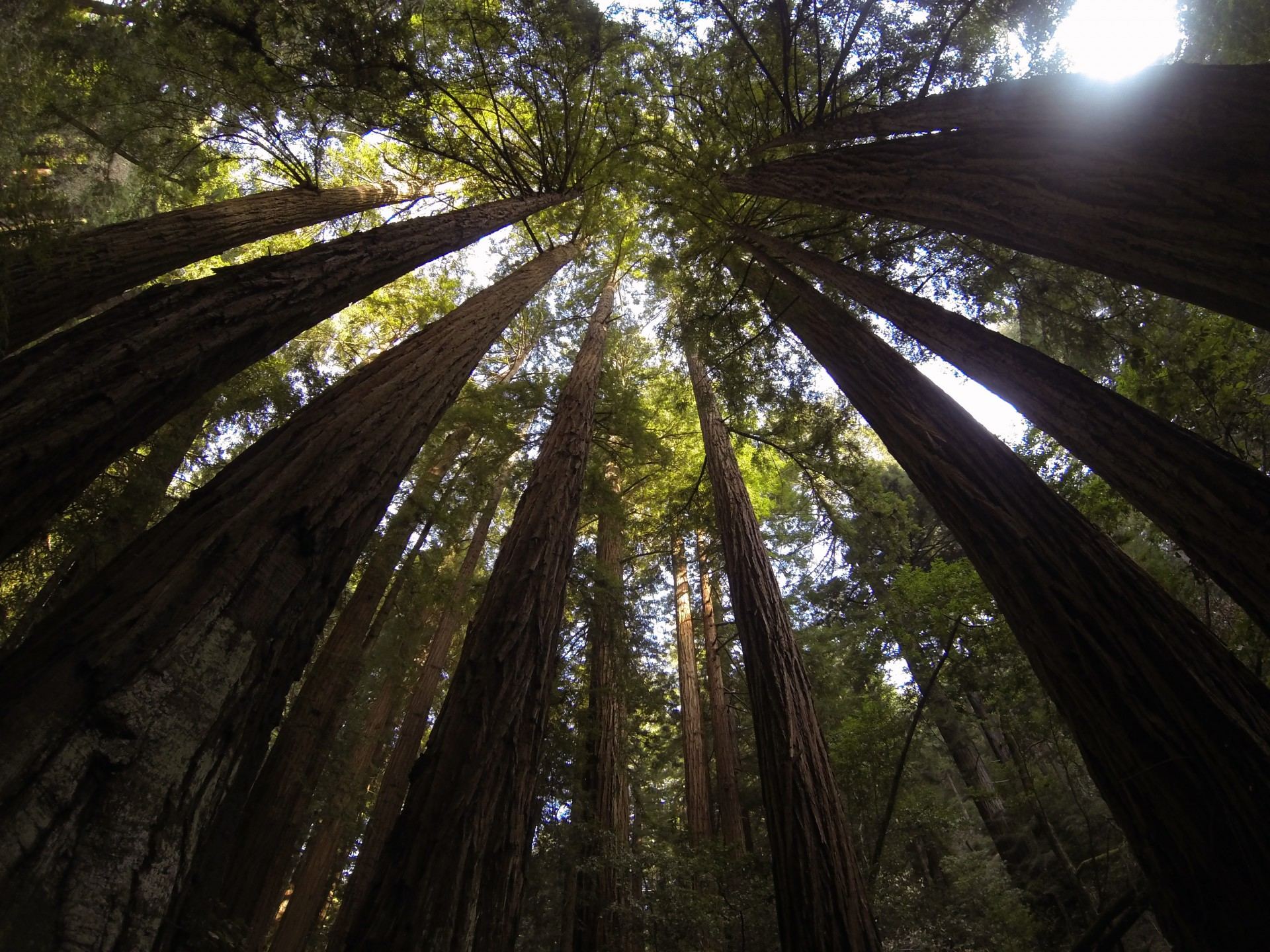 towering trees, forest, woods, trees