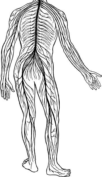 Nervous System Free Stock Photo Public Domain Pictures
