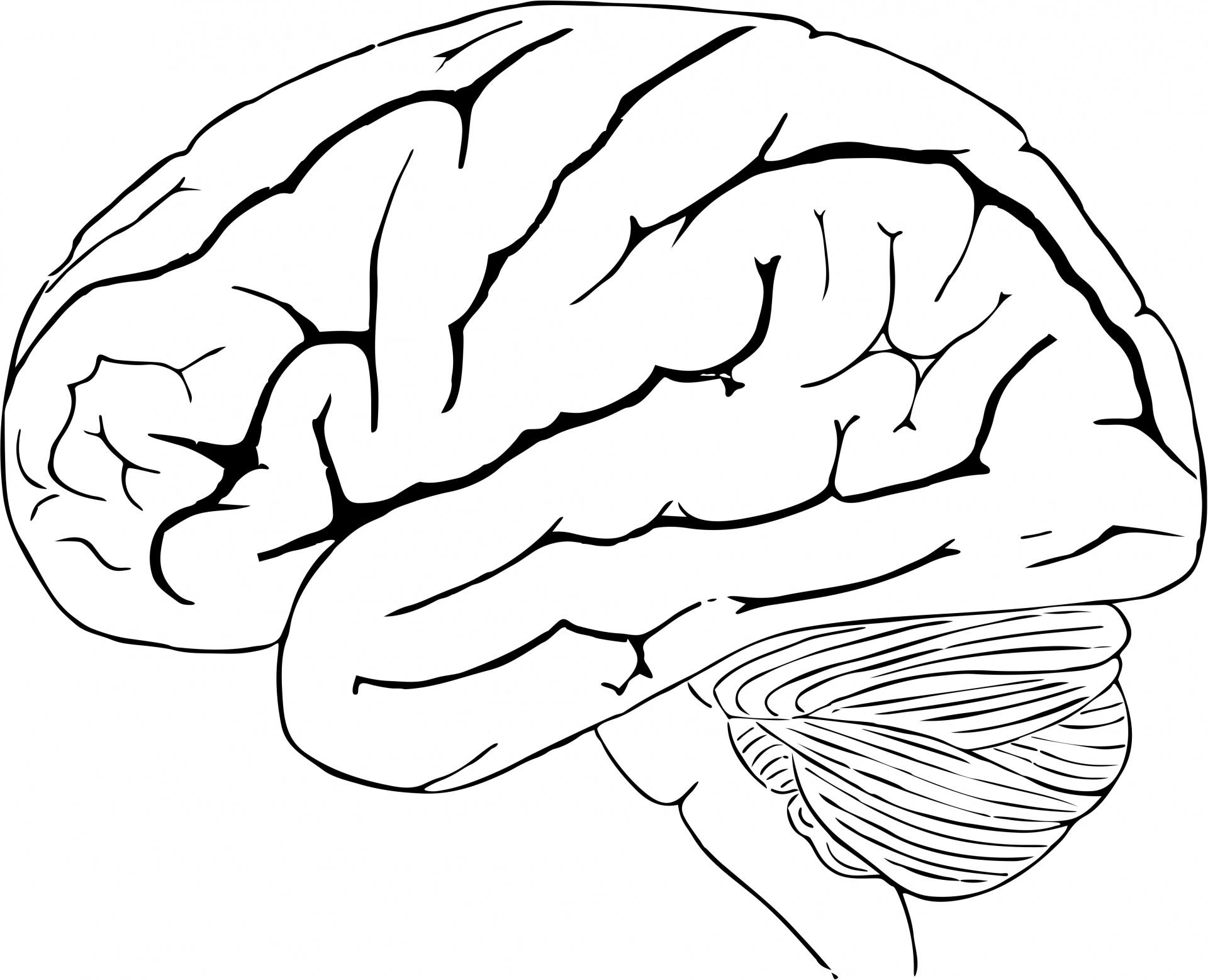 Human Brain Free Stock Photo
