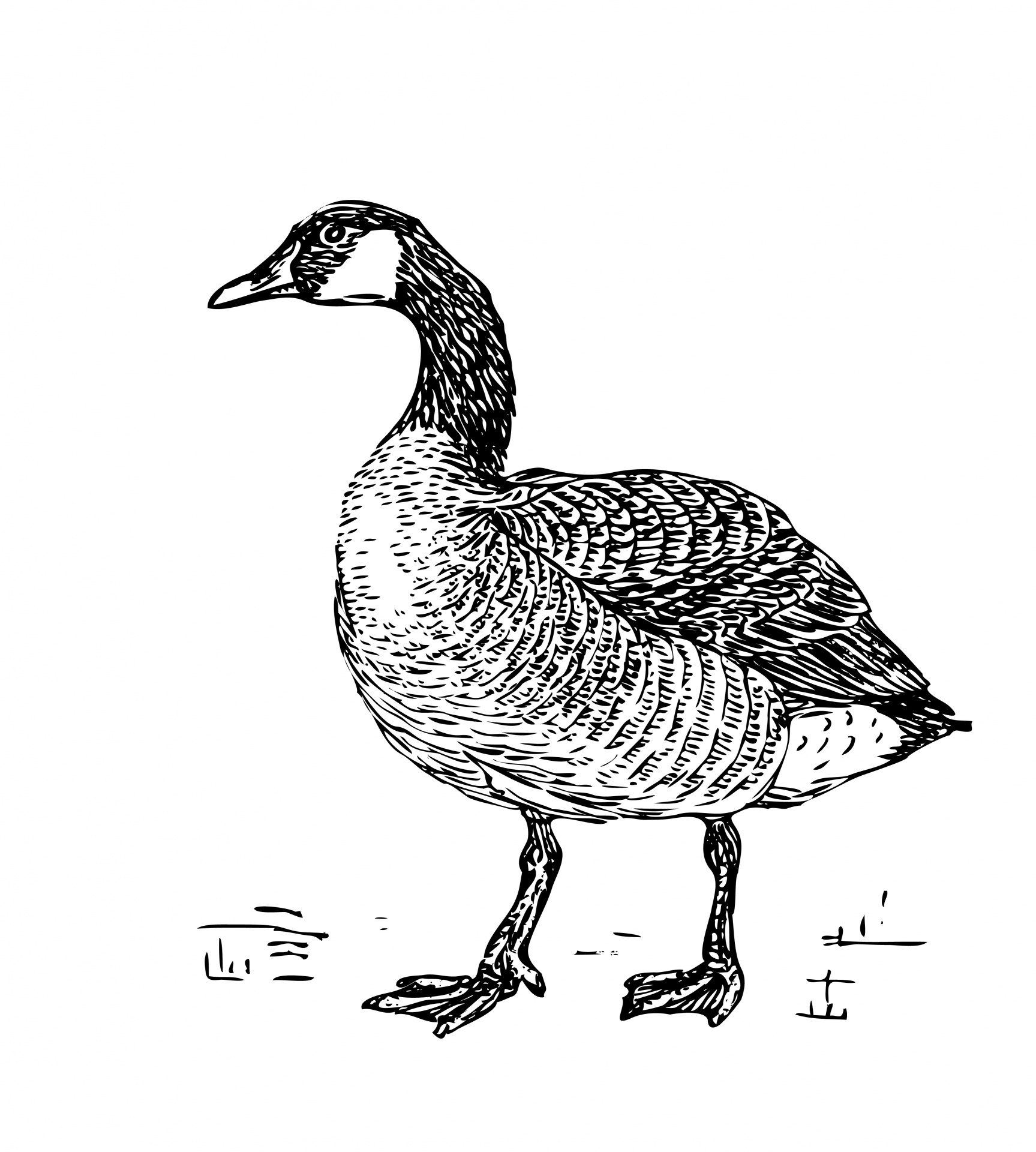 Canada Goose Clipart Free Stock Photo