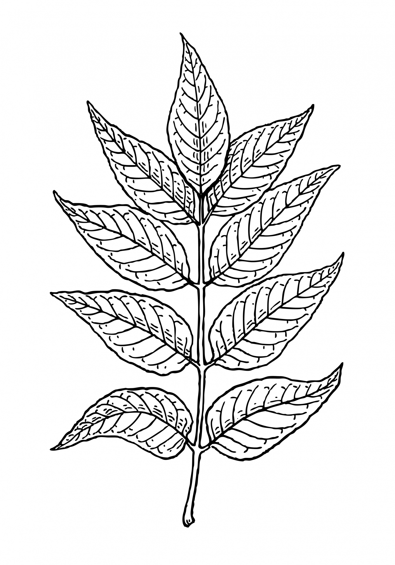 Leaves Of Ash Tree Clipart Free Stock Photo