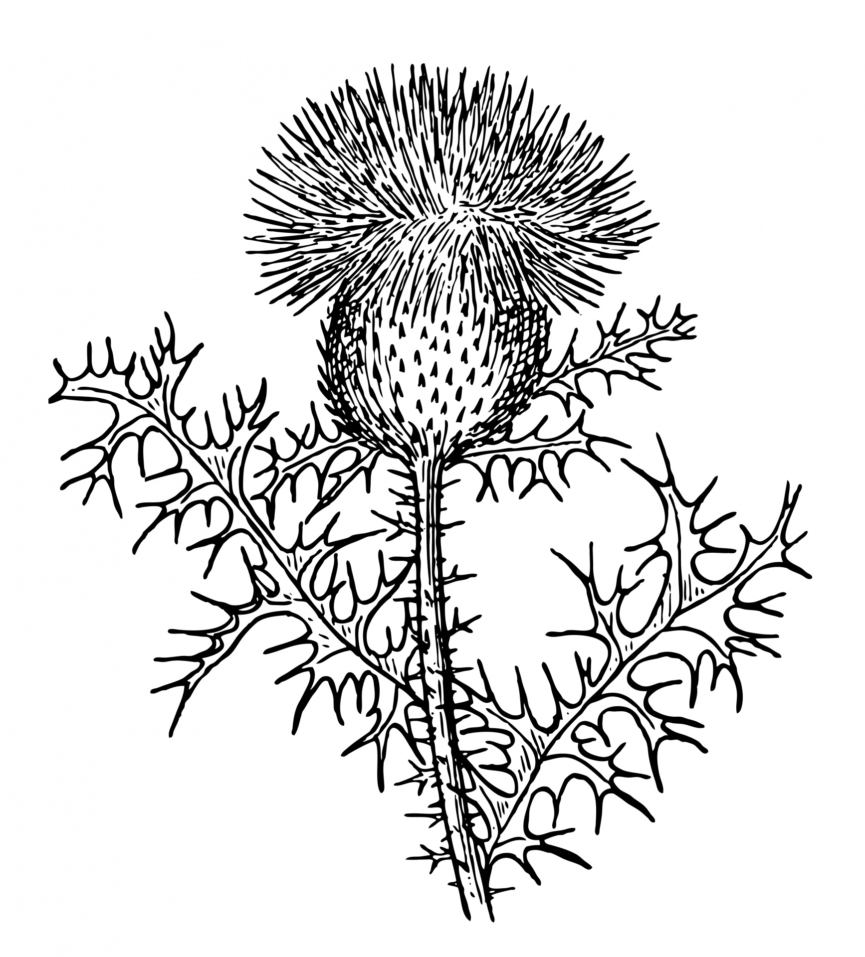 Thistle Clipart Illustration Free Stock Photo