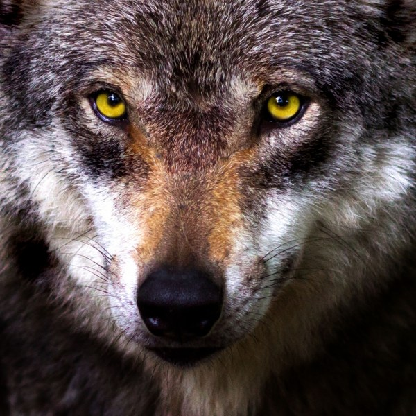 Wolf Face Free Stock Photo Public Domain Pictures