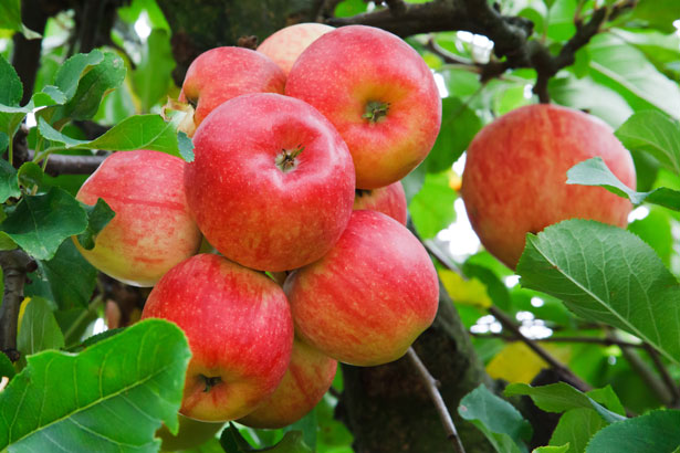 Apples, National Apple Month, Fruit
