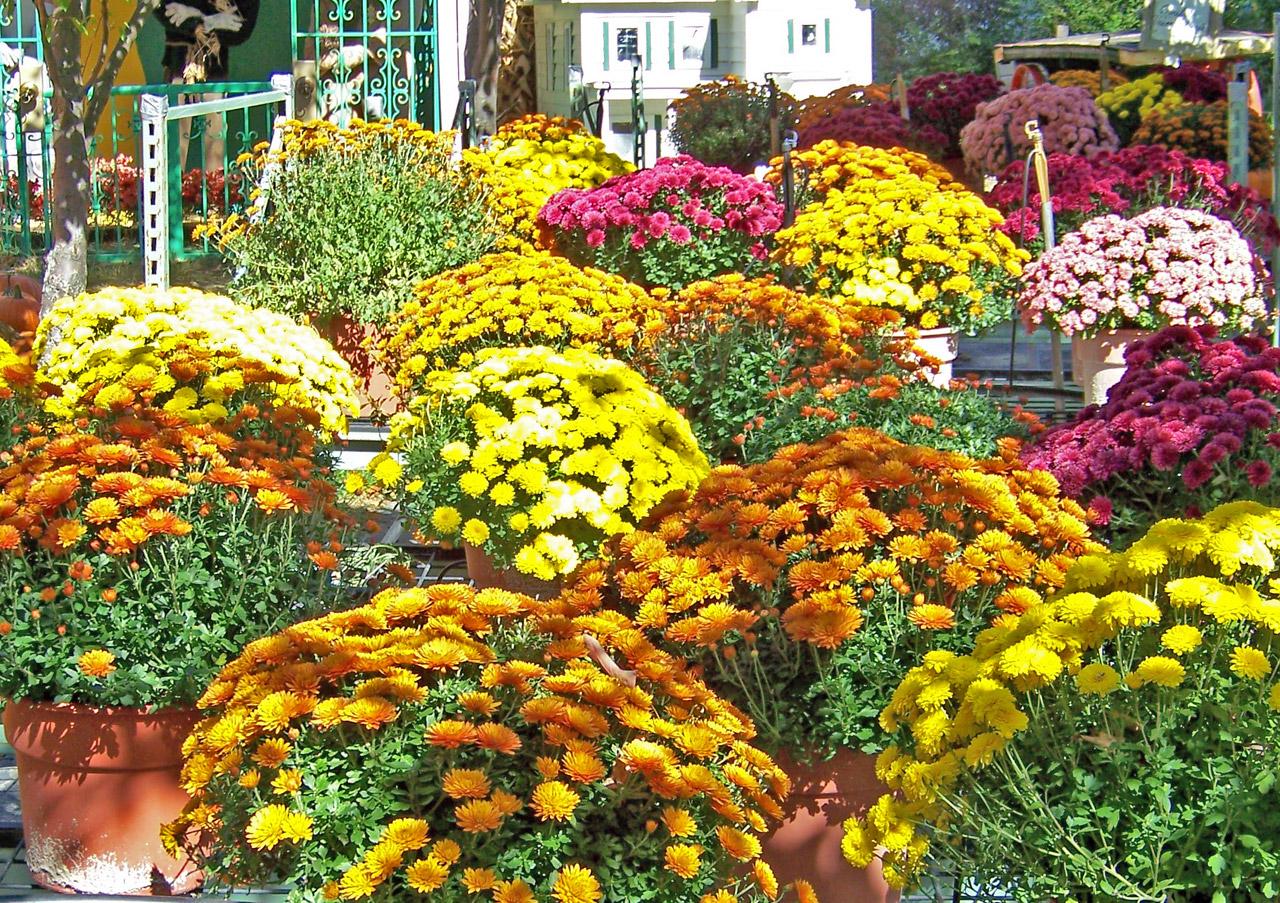 autumn flowers, mum, Chrysanthemums, flowers