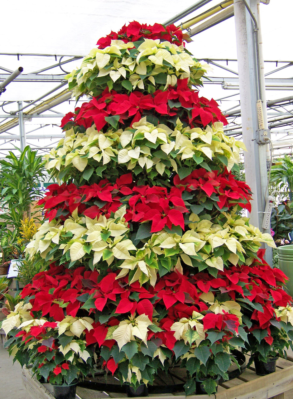 Chariot of Poinsettias on National Poinsettia Day | From ...