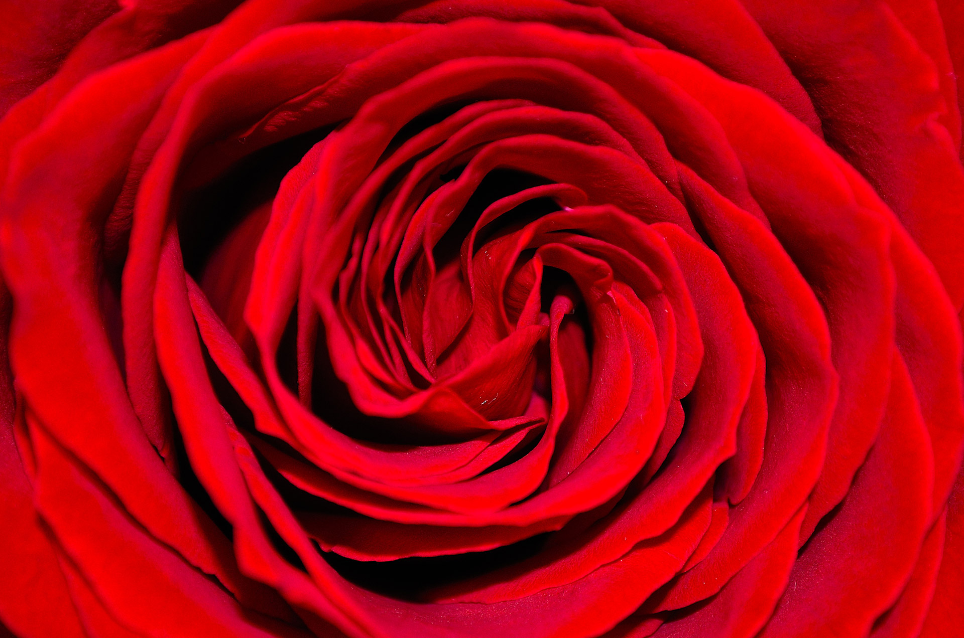 Red Rose Background Free Stock Photo Public Domain