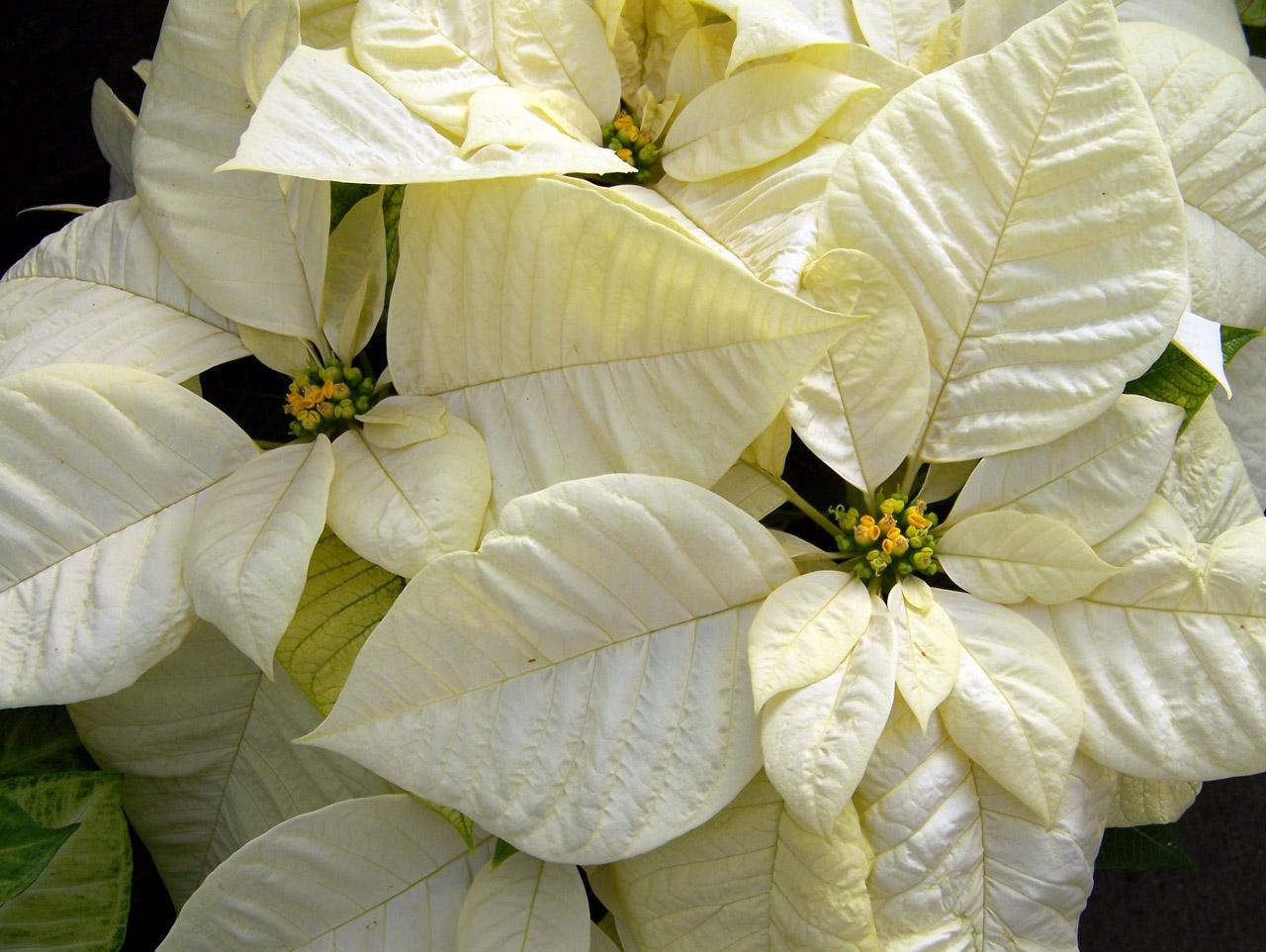 National Poinsettia Day, Christmas Flower