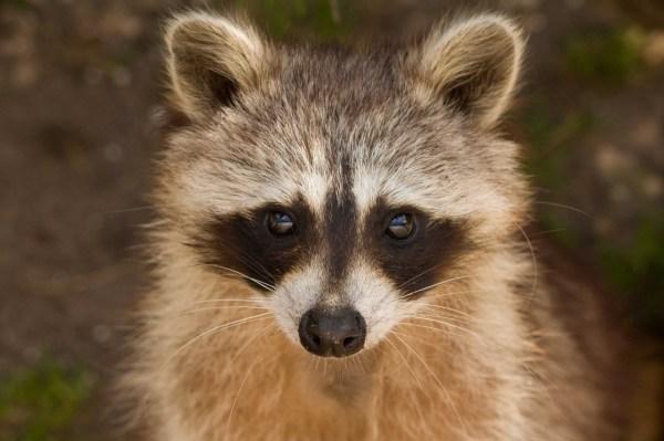 Raccoon Portrait Free Stock Photo - Public Domain Pictures