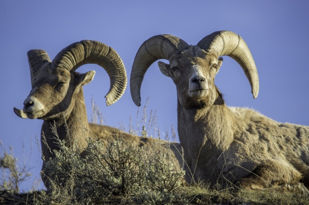 Image result for Mountain goat and Bighorn Sheep