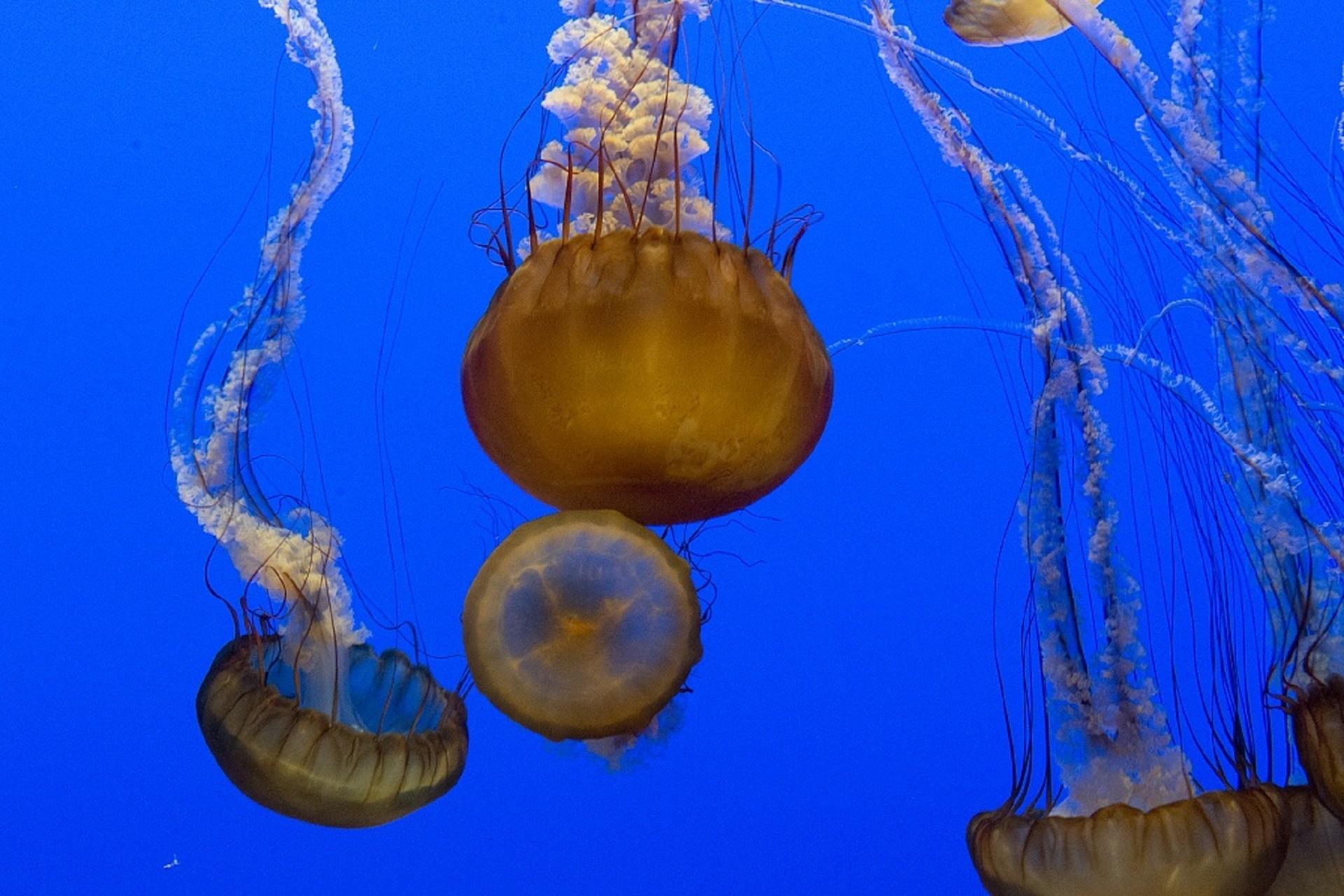 Jellyfish, Marine Life