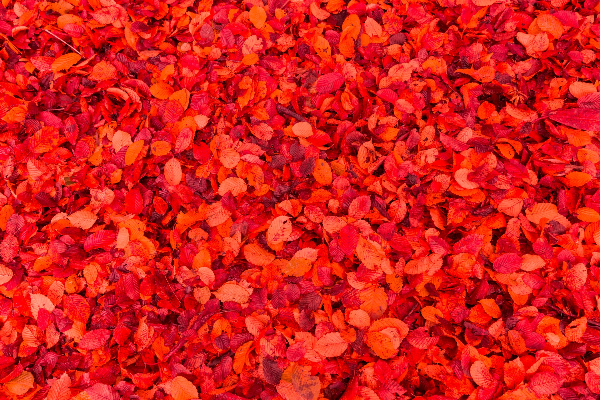 Red Leaves Background Free Stock Photo