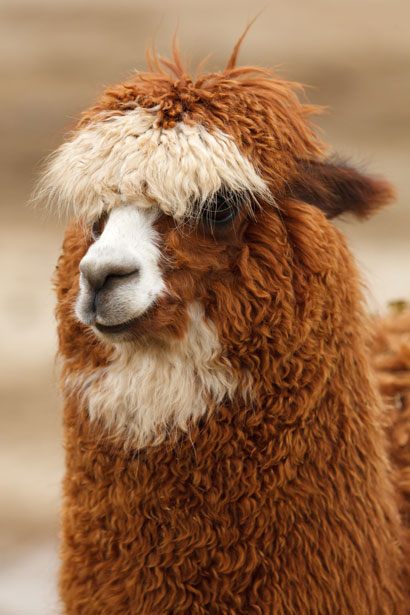 Brown Alpaca Free Stock Photo Public Domain Pictures