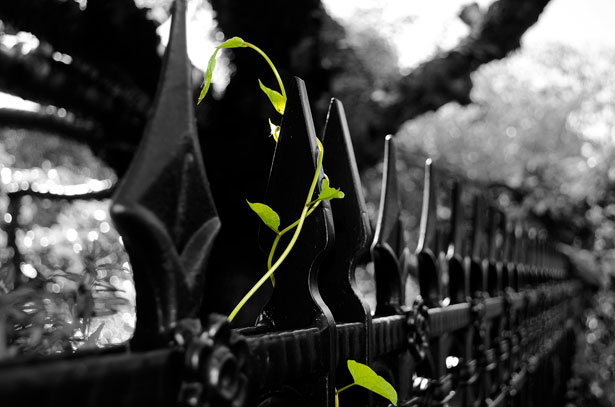 Ivy on Fence
