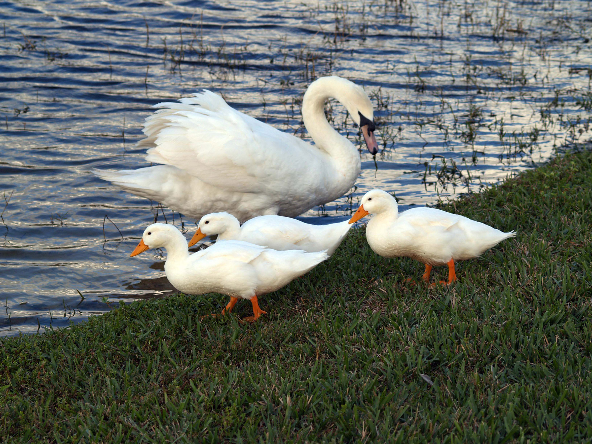 Swans, Life is beautiful
