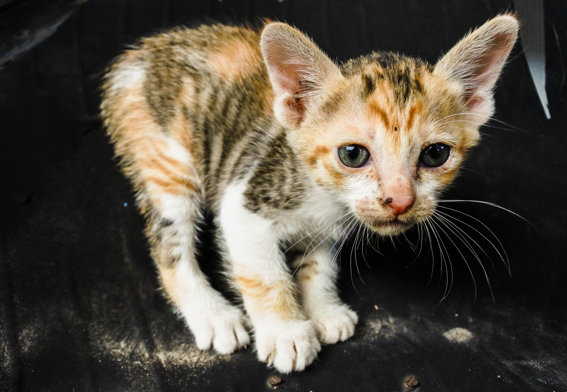 Cutest Kittens Cute Cat Free Stock Photo Public Domain Pictures