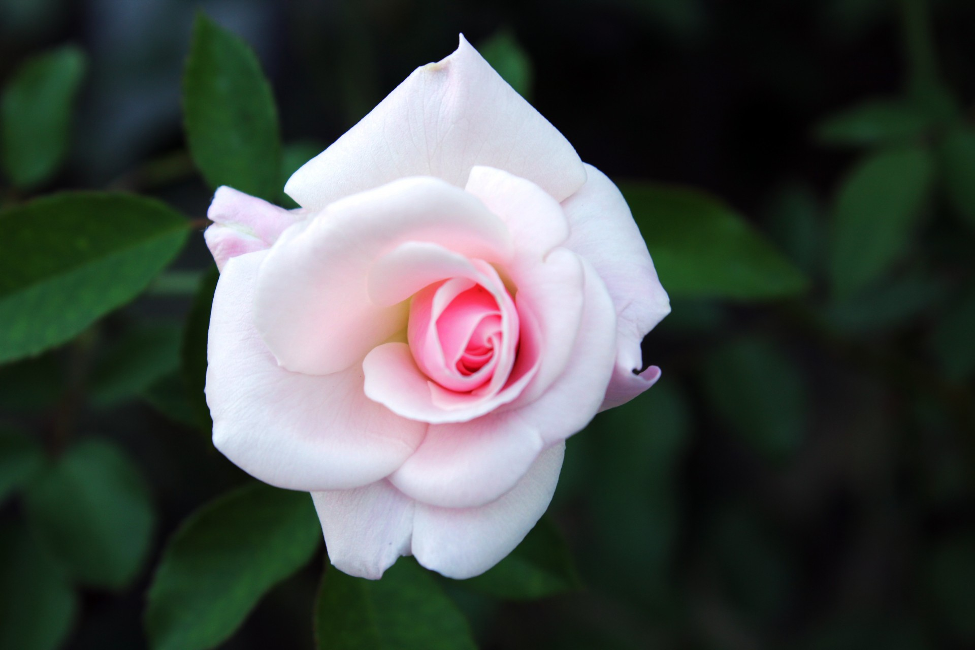 Rose Free Stock Photo Public Domain Pictures