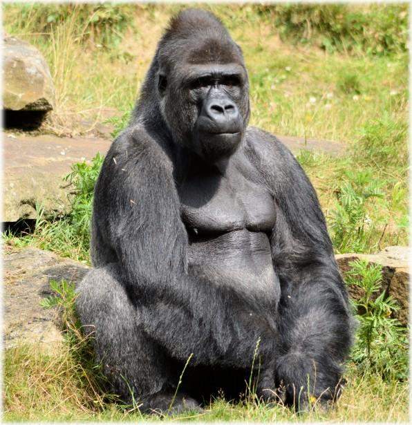 Gorilla Clan 06 Free Stock Photo Public Domain Pictures