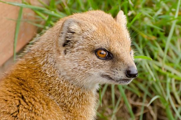 Yellow Mongoose Animals Free Stock Photo Public Domain