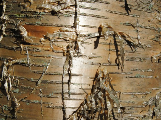 Yellow Birch Bark