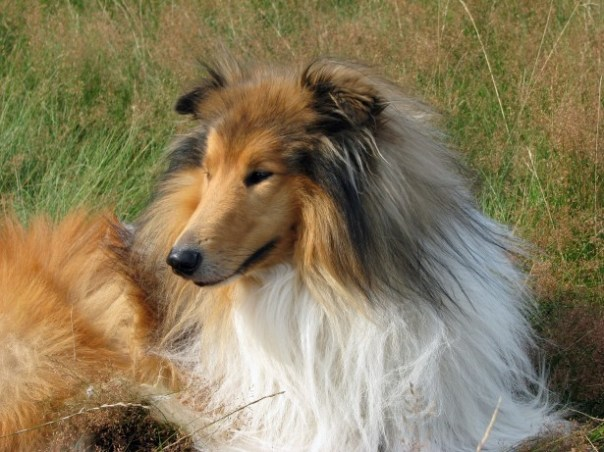 https://i1.wp.com/www.publicdomainpictures.net/pictures/80000/nahled/rough-collie-dog-1391540004GBc.jpg?w=604