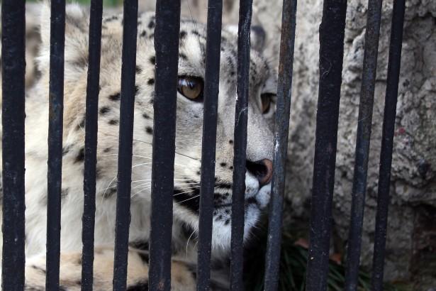 Leopardo de nieve tras las rejas