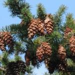 Douglas-fir | Photo by Dennis Paulson