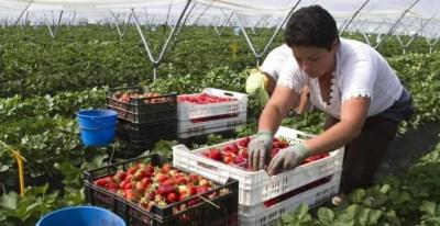 Una trabajadora de la campaña de la fresa en Huelva, en una imagen de archivo. (EFE)