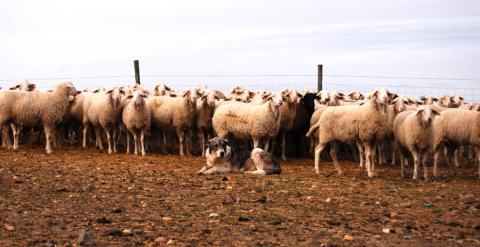 Un rebaño de ovejas vigilada por un perro en la localidad de Armuña, en Segovia. LUCÍA VILLA