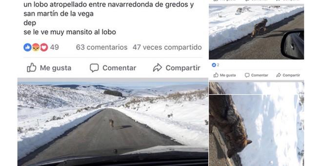 Imágenes publicadas en la página 'Gredos sin lobos' de Facebook que ha sido finalmente cerrada.