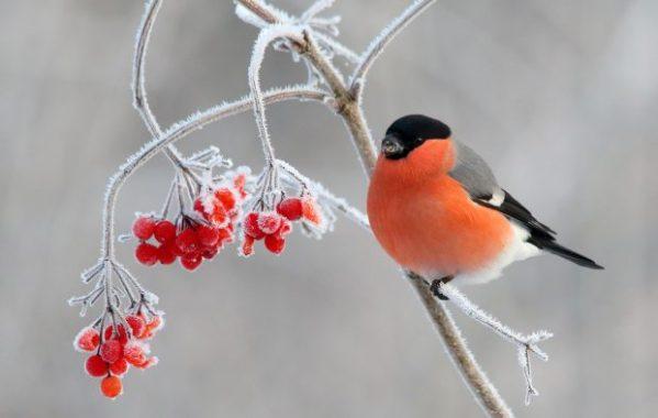 Зимующие птицы — какие птицы зимуют в России, подборка фото