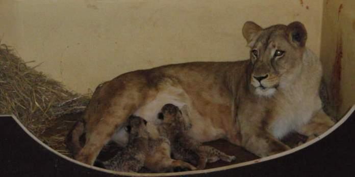 Löwin Bastet geht es deutlich besser: Sie zeigt wieder Interesse an ihren Jungen