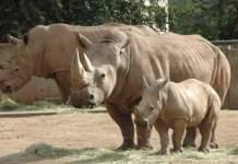 Nashornbulle, Nashornkuh und Nachwuchs beim Fressen