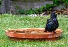 ein Vogel mit nassem Gefieder sitzt auf dem Rand einer flachen Terrakottaschale
