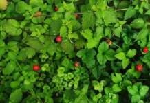 kleine und große Erdbeeren an der Pflanze
