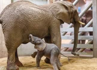 Baby-Elefant will bei Mama saugen