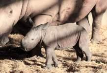 Die Nashorn-Mutter steht neben ihrem Nachwuchs